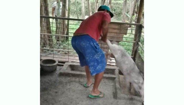 Pemilik Kandang yang Digugat Rp 2,9 M akhirnya Pindahkan Babinya