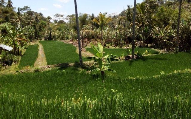 Salak Anjlok, Petani Salak Banting Setir ke Padi, 22 Ha Alih Fungsi