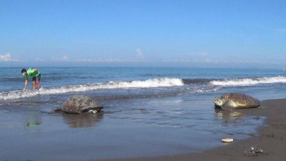 4 Penyu Hijau Dilepasliarkan di Pantai Perancak