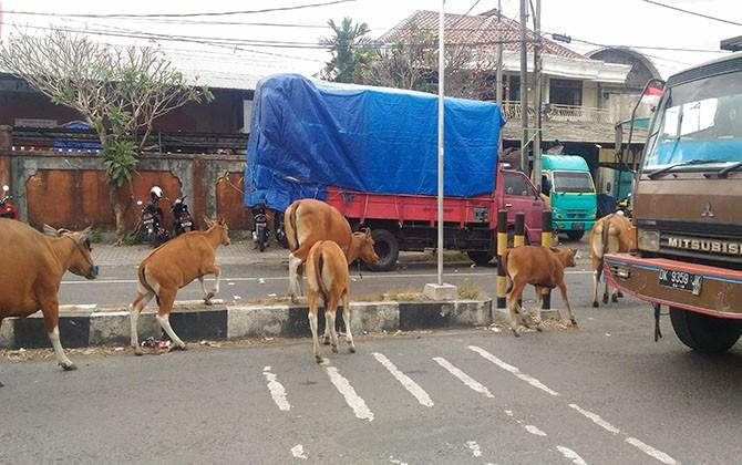 BAHAYAKAN PENGENDARA: Ternak sapi milik warga masih berkeliaran di Jalan Cargo Denpasar. Perbekel Ubung Kaja mengancam akan menangkap dan menjual sapi-sapi tersebut.