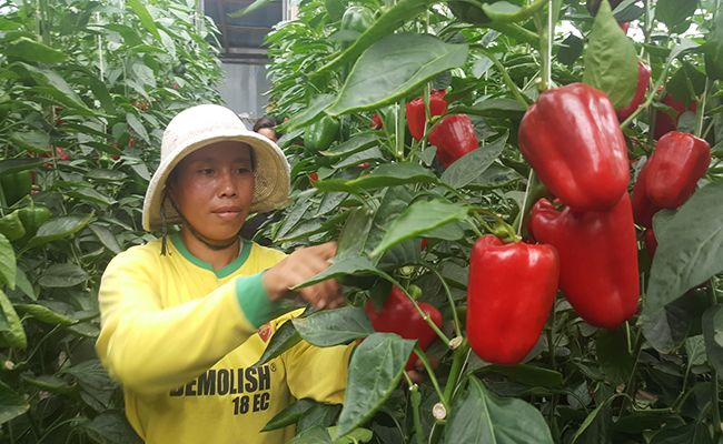 petani paprika, harga anjlok, ganti tanaman, gagal bayar, petani pancasari
