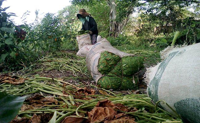 hujan lebat, petani sukawati, petani tembakau, kesulitan jemur