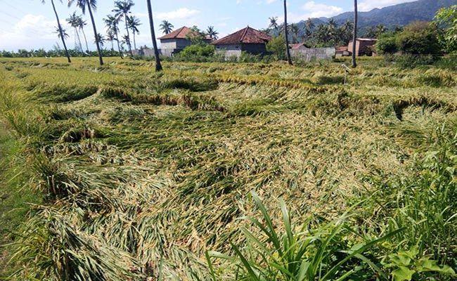angin kencang, puluhan hektare, tanaman padi, padi roboh, distan buleleng