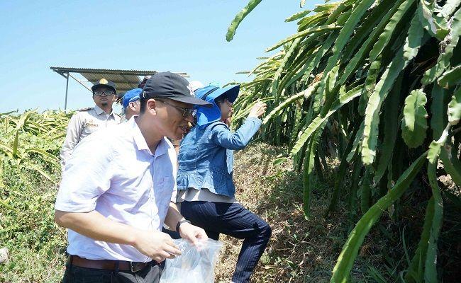 pertanian organik, buah naga, siap ekspor, ekspor ke tiongkok
