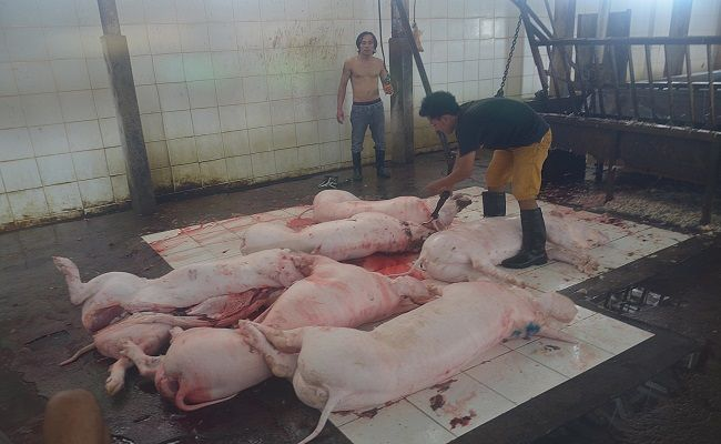 babi mati, positif asf, african swine fever, sampel darah, distan tabanan, respons mendadak berubah