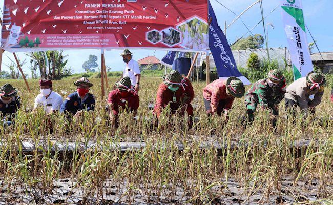 Panen bawang putih hasil percontohan di Desa Wanagiri, Sukasada, Buleleng, Kamis (6/8/2020).