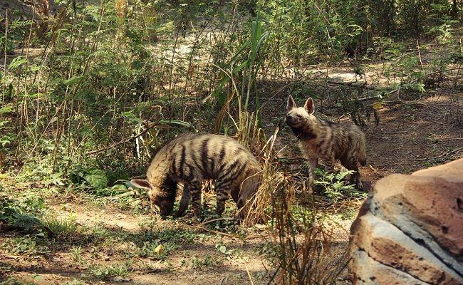 minim pemasukan, satwa herbivora, makanan harimau, hewan buas, biaya operasional, bali bird park, bali safari park