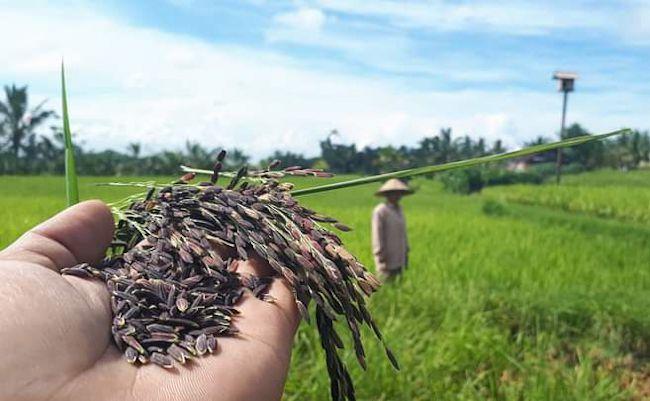 Ketua Konservasi Burung Hantu I Made Jonita yang juga selaku petani di Subak Merta Tempek Soka Candi, Desa Senganan Penebel yang memperlihatkan hasil pertanian beras hitam yang sedang dikembangkan.