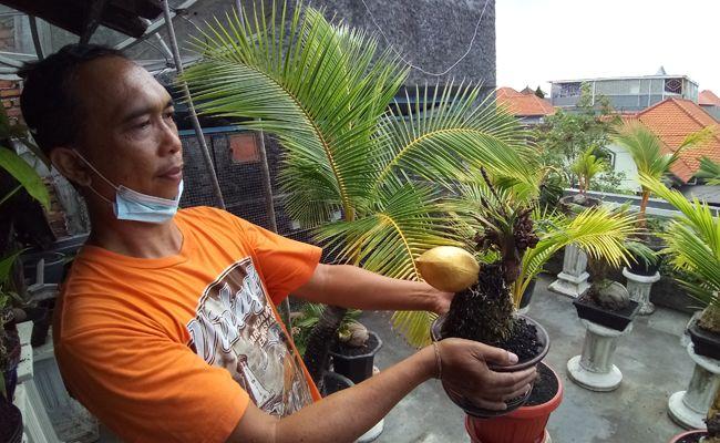 Nyoman Edi Wisnaya, hobi, bonsai kelapa, Denpasar,