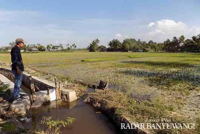 TETAP SUBUR: Salah satu tanaman padi yang tidak rusak. Lahan ini padahal pertama kali dilalui tumpahan tetes PG Panji