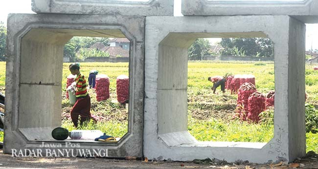 PANEN: Petani memanen tanaman ubi jalar di persawahan Alasmalang, Singojuru, Minggu (23/9).