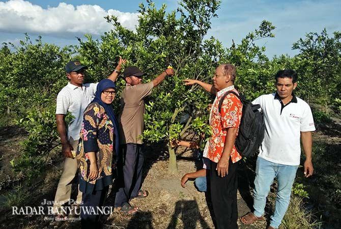BELAJAR: Peserta Sekolah Lapang Good Agriculture Practice (SL GAP) praktik lapangan tanaman buah di Banyuwangi.