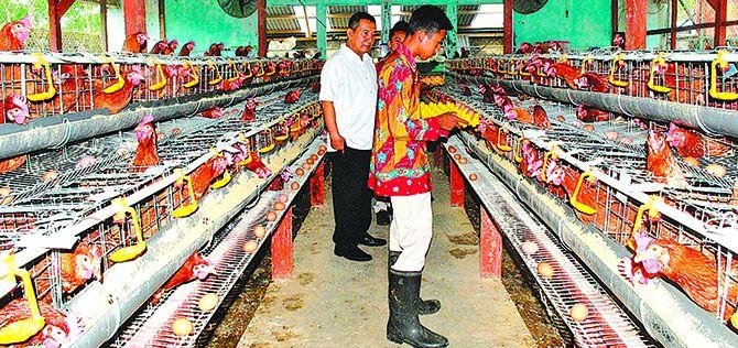 UNGGAS: Wakil kepala SMKN 1 Kalibaru Abdul Hannan (kiri) mendampingi siswa agribisnis ternak unggas saat panen telur, kemarin (28/11).