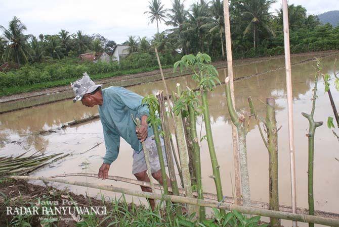 ANTISIPASI: Hartono memberi pagar dari tanaman hidup di sawahnya Desa Sumberagung, Kecamatan Pesanggaran, Senin (3/12).