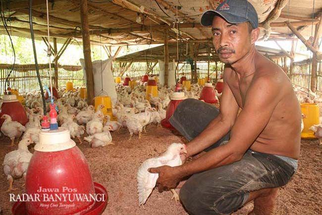 MENGELUH: Samsul Hadi merasa prihatin dengan melonjaknya harga pakan ayam, Rabu (26/12).