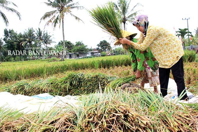 HAMA: Petani di Desa Parangharjo, Kecamatan Songgon memanen tanaman padi yang masih hijau, kemarin (8/9)