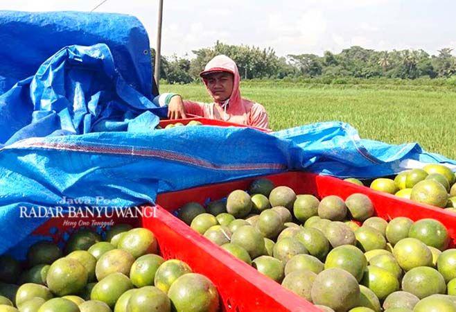 MASIH SEGAR: Karijan memanen jeruk miliknya di Desa Sembulung, Kecamatan Cluring, kemarin (9/4).