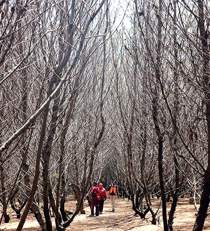 INDAH: Kelebatan hutan inti cemara di Pantai Cemara menarik dijadikan spot foto.