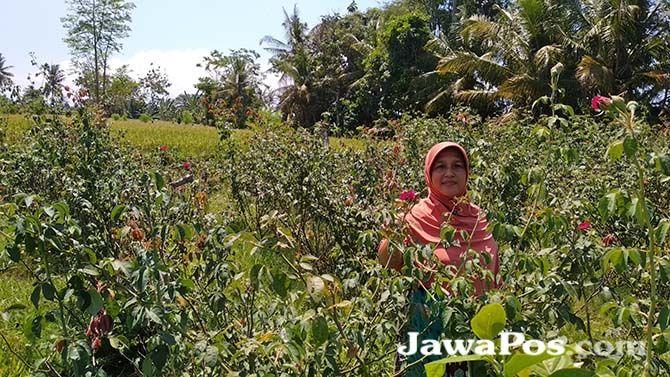 WANGI: Mutoharoh memetik bunga mawar di kebun miliknya di Kelurahan Penataban, Kecamatan Giri, Kamis (3/10).
