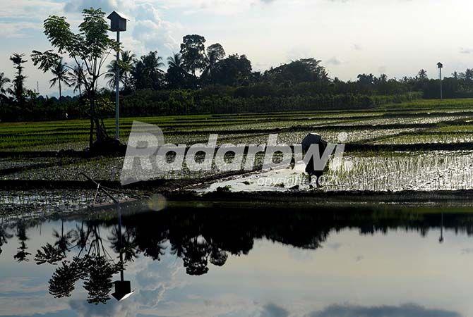 SENJATA ALAMI: Sebuah persawahan yang memiliki gupon burhan tyto Alba, di Desa Wringinrejo, Kecamatan Gambiran, kemarin (9/6)