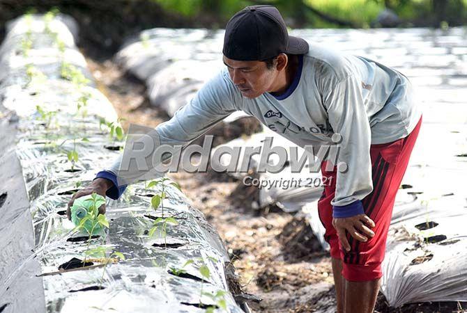 AGRICULTURE: Khoirur Rofik menyiram dengan telaten bibit tanaman cabai di areal persawahan miliknya.