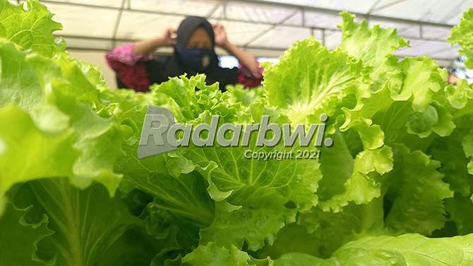 HIJAU: Fatimah memanen selada hidroponik di rumahnya Desa Wringinagung, Kecamatan Gambiran kemarin (22/7).