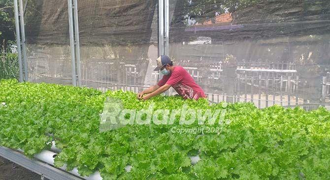 SIAP PANEN: Salah satu petani hidroponik sayur selada yang siap panen, minggu kemarin.