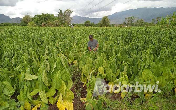 POTENSI MERUGI BESAR: Salah satu petani tembakau di Desa Selomukti, Kecamatan Mlandingan, melihat tanamannya yang rusak akibat guyuran hujan.