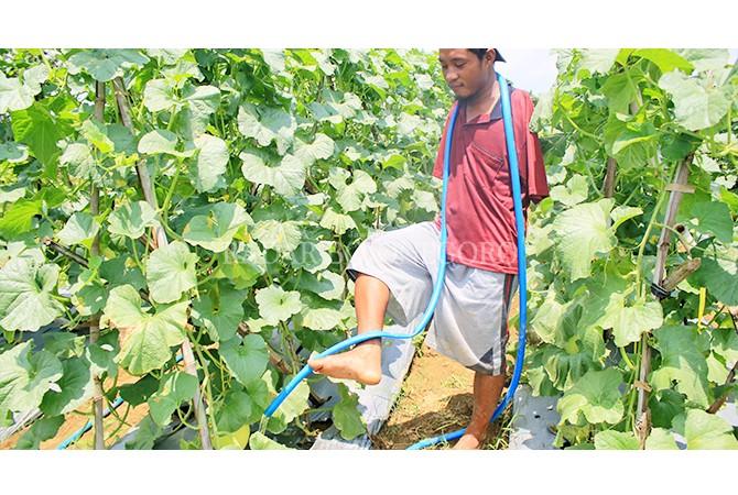 MENYIRAMI DENGAN KAKI: Qomaruzzaman, petani melon asal Desa Sendangharjo yang tak memiliki kedua tangan tetap bersemangat menyirami tanamannya. Kebun melon diharapkan bisa menjadi andalan wisata desa setempat selain pohon trinil.