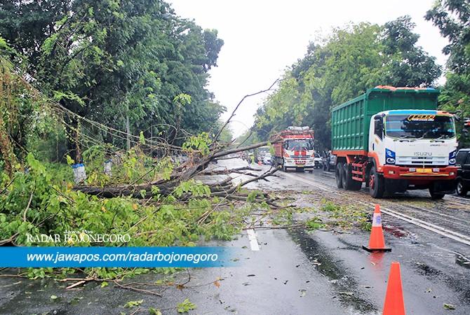 BIKIN MACET:  Sebuah pohon di Jalan Jaksa Agung Suprapto Lamongan tumbang.