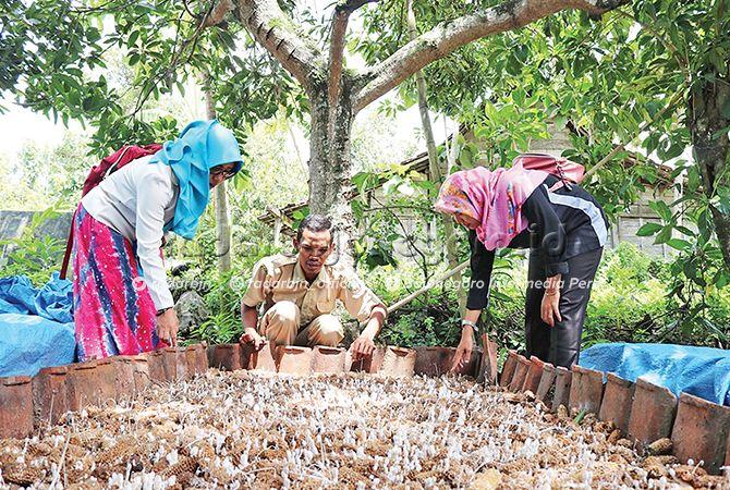 SEPI: Bisnis jamur janggel jagung mengalami penurunan.