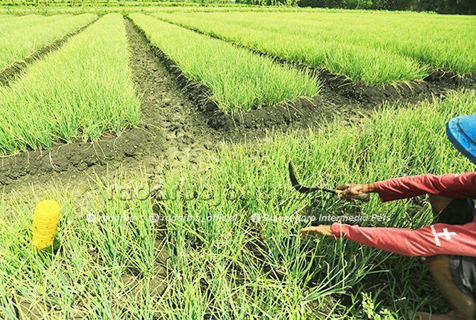 SABAR: Para petani bawang merah harus bersabar. Saat ini sedang diserang hama ulat.