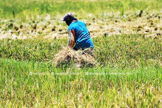 PANEN MUNDUR: Akibat intensitas hujan masih minim, pola tanam di Lamongan menjadi mundur. Termasuk musim panen raya mundur, meski ada yang sudah panen, seperti dalam foto.