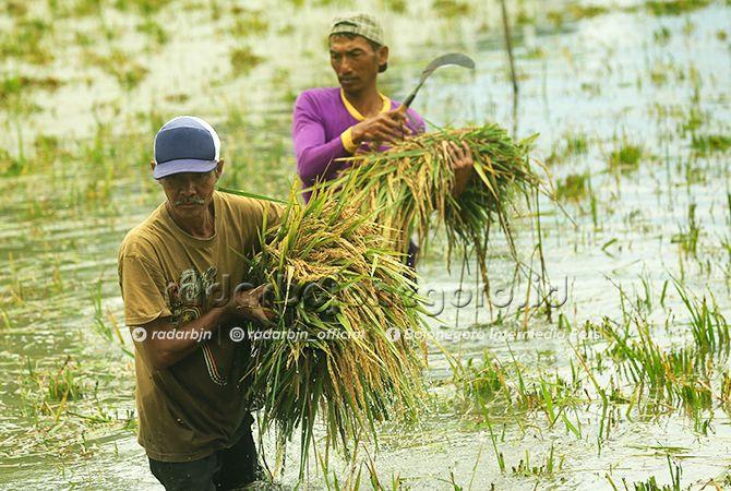 KASIHAN: Para petani di Bojonegoro harus menerima nasib karena saat ini terkena banjir.