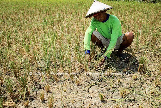 HASIL TAK MAKSIMAL: Petani di Desa Jatirejo, Kecamatan Tikung kemarin (22/6) terpaksa memanen tanaman padi di sawah yang mengering karena kesulitan mendapatkan pengairan.