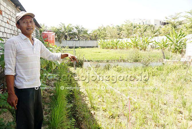 LINGKUNGAN: Agus Salim menunjukkan areal tanaman padi dengan pupuk organik.