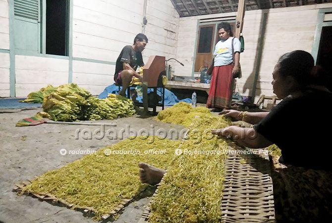 KOMODITAS KEMARAU: Beberapa petani ketika merajang tembakau sebelum dijemur.