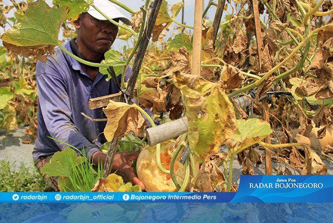 PANEN TIDAK MAKSIMAL: Petani melon harus merelakan sebagian buahnya dimakan hama tikus.