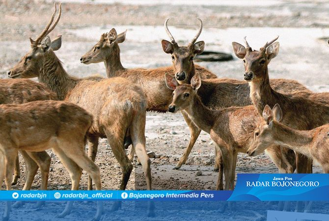 LOKASI DEKAT KOTA: Penangkaran rusa di Desa Sukowati, Kecamatan Kapas. Menyisakan 22 ekor dari sebelumnya 41 ekor.