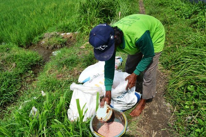 Pupuk di Jombang saat menyiapkan pupuk sebelum diberikan ke tanaman di sawah