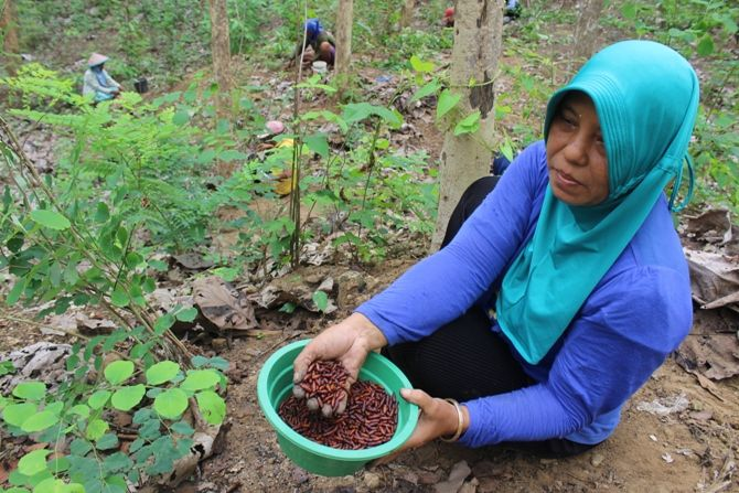 Di hutan jati Desa Cupak, Kecamatan Ngusikan, warga berburu enthung