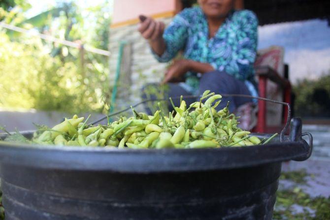 Cabai hasil panen terakhir petani di Bandarkedungmulyo