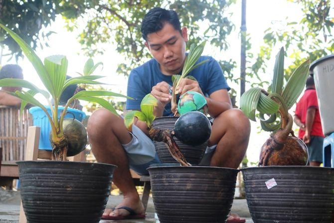 Adik Kurniawan, 30, asal Dusun Cangkring, Desa Kedunglosari, Kecamatan Tembelang ini sudah setahun aktif menggeluti hobi bonsai kelapa.
