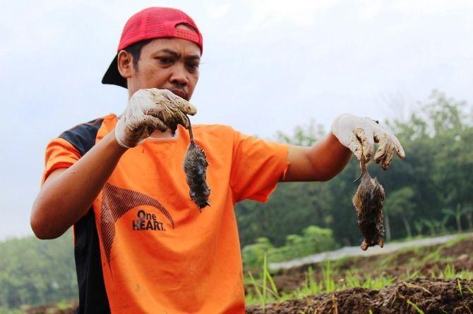 Serangan hama tikus yang terjadi di Jombang.