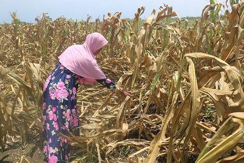 LIMBAH: Lahan jagung mengering kena limbah
