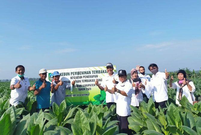 Disperta Jombang melakukan kegiatan penerapan pembenihan tembakau.
