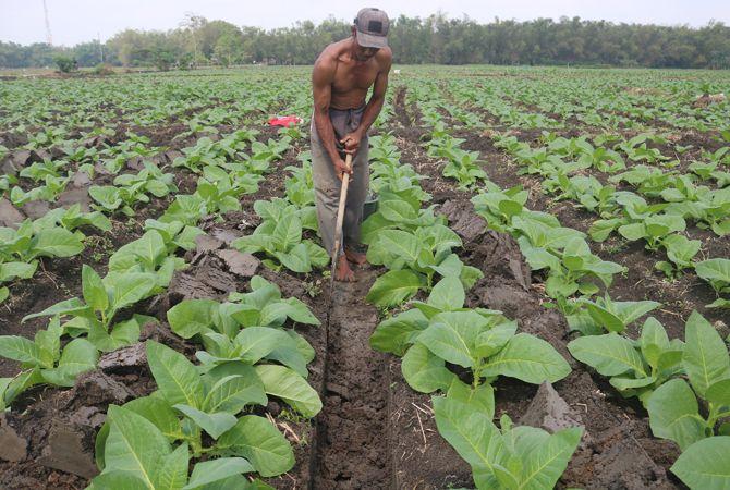 IRIGASI: Salah satu petani tengah menggali irigasi di sela-sela tanaman tembakau untuk resapan air.