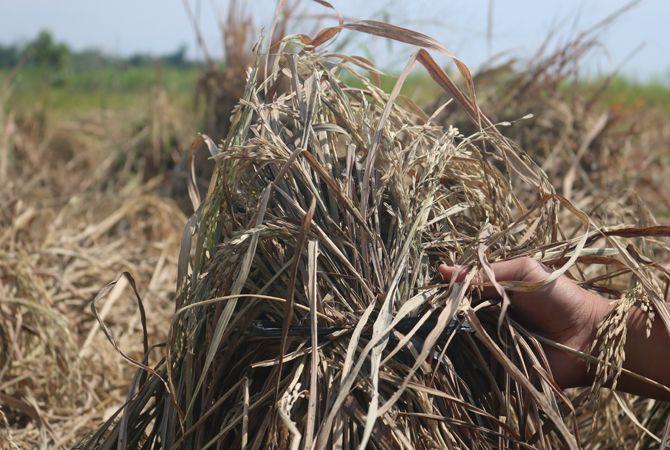 RUSAK: Kondisi tanaman padi yang rusak diserang hama wereng di Desa Pandanwangi, Diwek, kemarin.