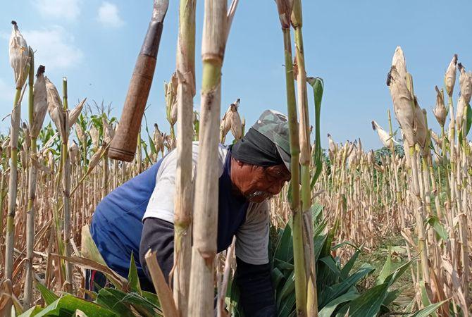 MELIMPAH: Petani jagung semringah panennya melimpah dan harga jualnya tinggi.