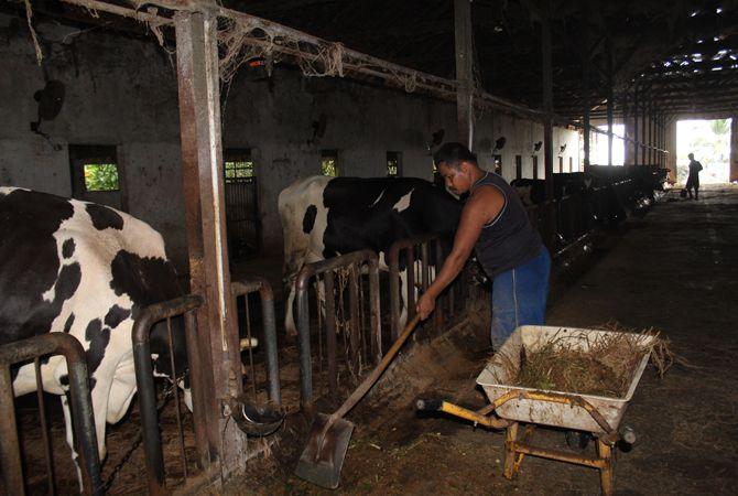 DIRAWAT: Peternak sapi di Wonosalam merawat sapinya sebelum diperah.